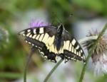 Swallowtail, Switzerland