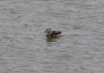 Long-tailed Duck, Burry Port