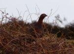 Red Grouse, Ilkley Moor