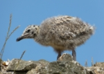 Juvenile Herring Gulls, Conwy
