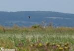 Montagu's Harrier, Blacktoft Sands