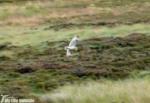 Short Eared Owl, Ilkley Moor