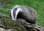 Dinefwr Badgers