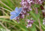Common Blue, Dover