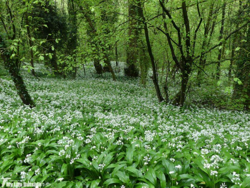 Wild Garlic, Llangollen Canal