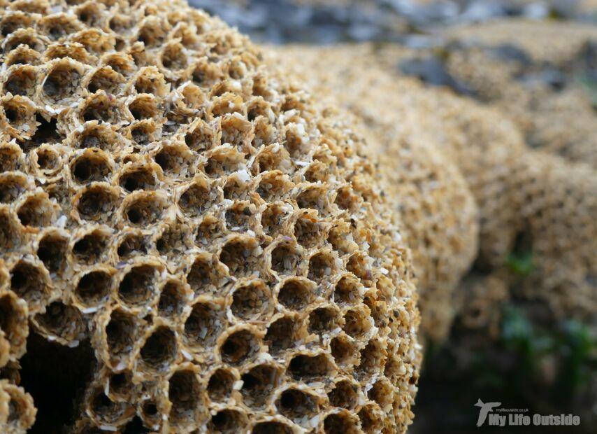 Honeycomb Worms, Bracelet Bay