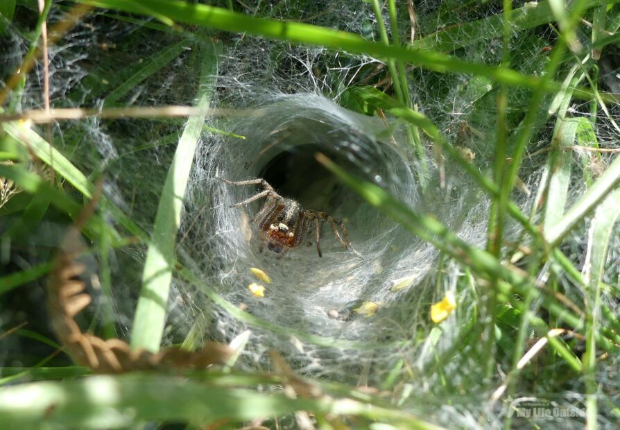 Labyrinth Spiders of Manorbier